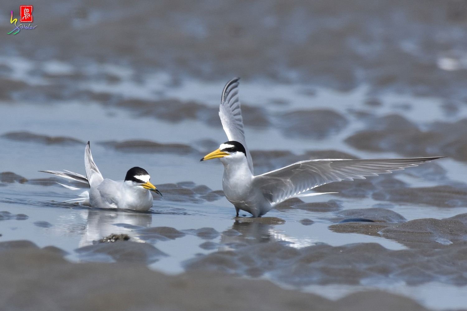 Little_Tern_8882