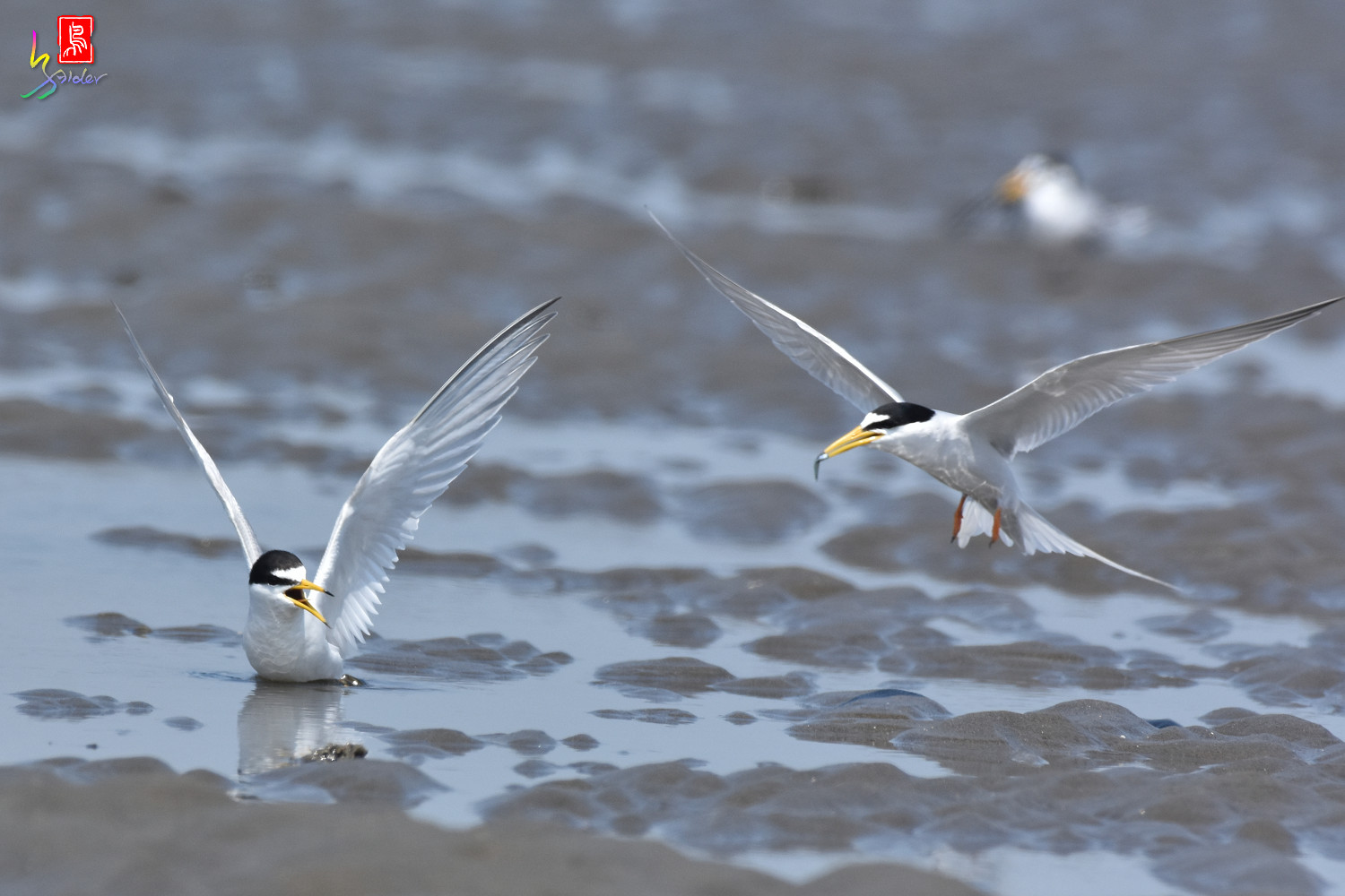 Little_Tern_8880
