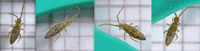Entomobrya nivalis