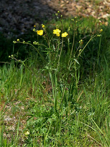 Ranunculus acris - renoncule âcre  40397378370_16db9cf8f5