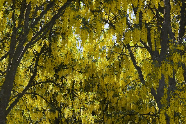 142:365-May 22-Golden Canopy, Canon EOS 7D MARK II, Canon EF-S 55-250mm f/4-5.6 IS STM