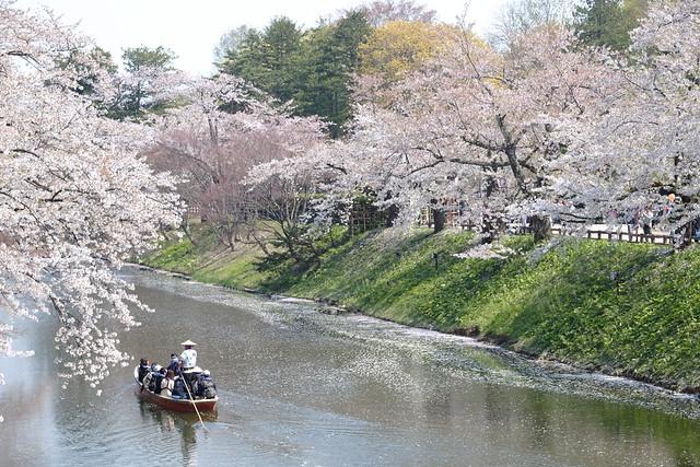 Rowing under sakura blossoms