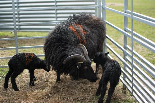 2018-04-14 spring lambs