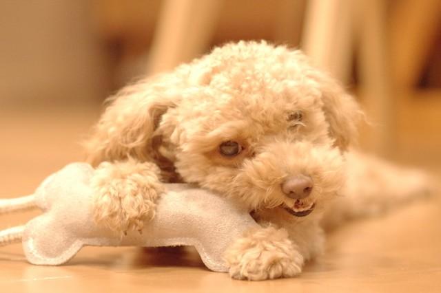 熱中症対策した部屋で落ち着いて遊ぶ犬