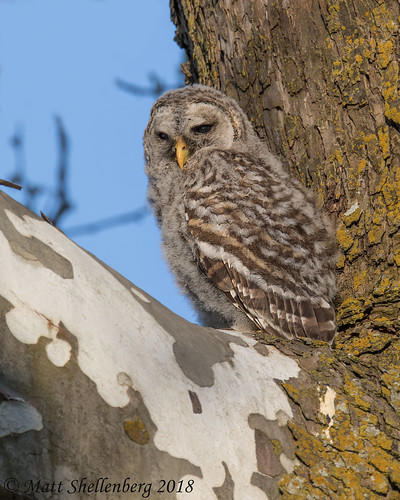 Barred Owl Fledgling