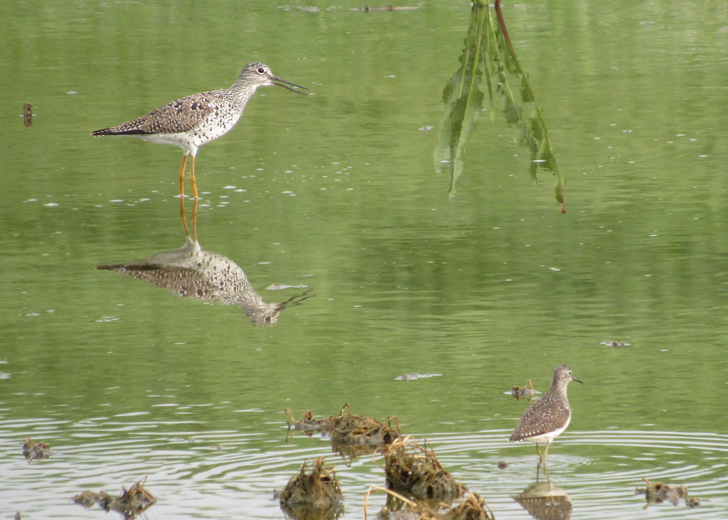 Greater Yellowlegs and Solitary Sandpiper