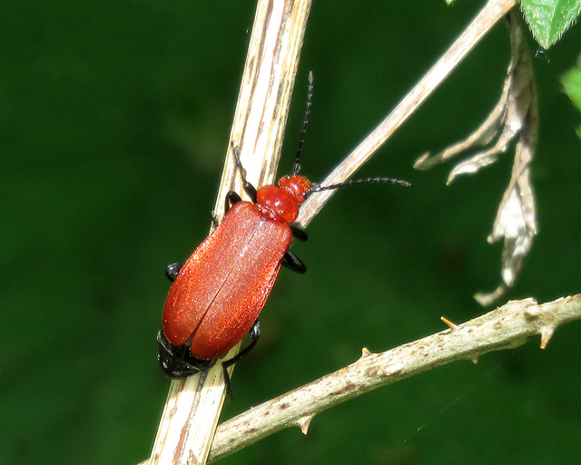 Red-headed Cardinal Beetle - Pyrochroa serraticornis