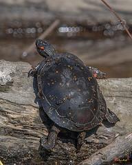 Spotted Turtle (Clemmys guttata) (DAR025)