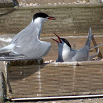 Common Terns at Preston Docks