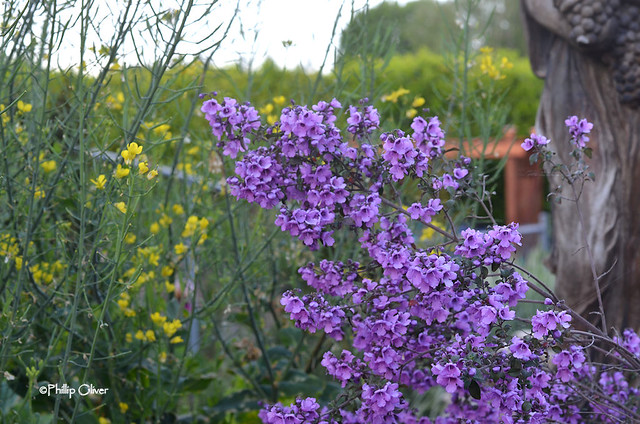 prostanthera-rotundifolia-australian-mint-bush