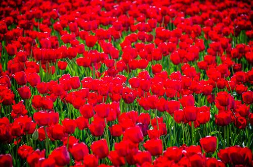 Skagit Valley Tulips-134