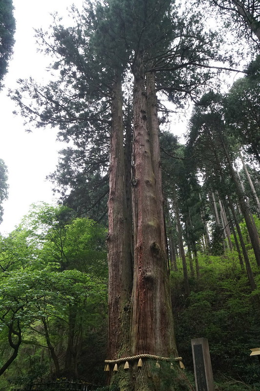 御岩神社 三本杉(御神木)