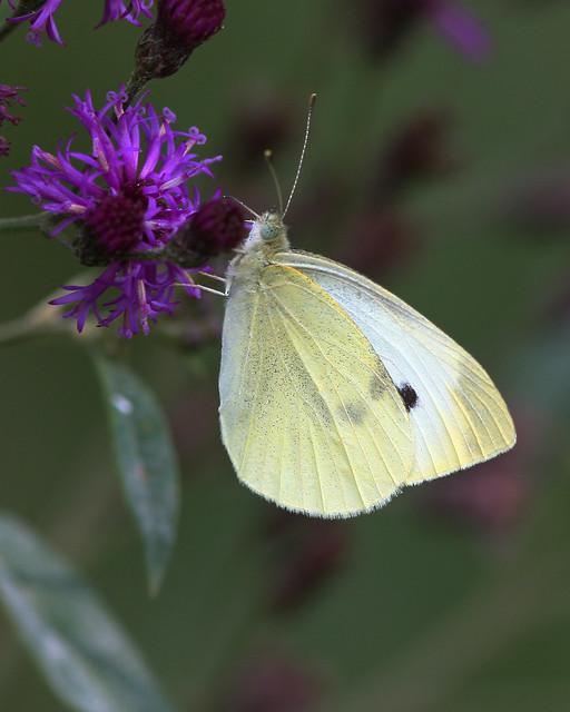 Butterfly-20D-08-28-2008