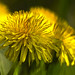 The dandelions bloom all over, they are both fine and annoying by `maridesign`