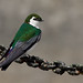Violet-green Swallow   Hirondelle à face blanche by shimmeringenergy