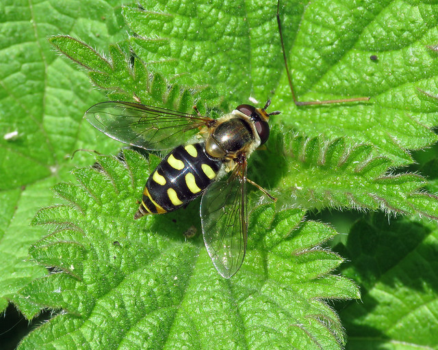Eupeodes sp.