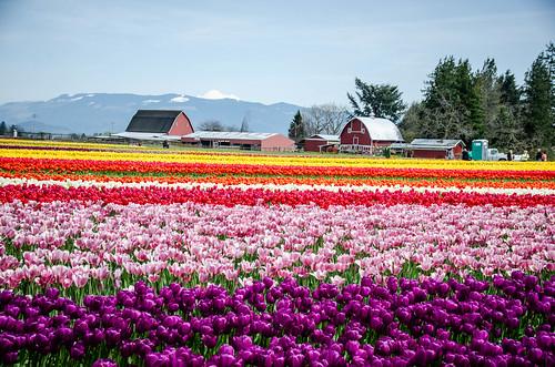 Skagit Valley Tulips-52