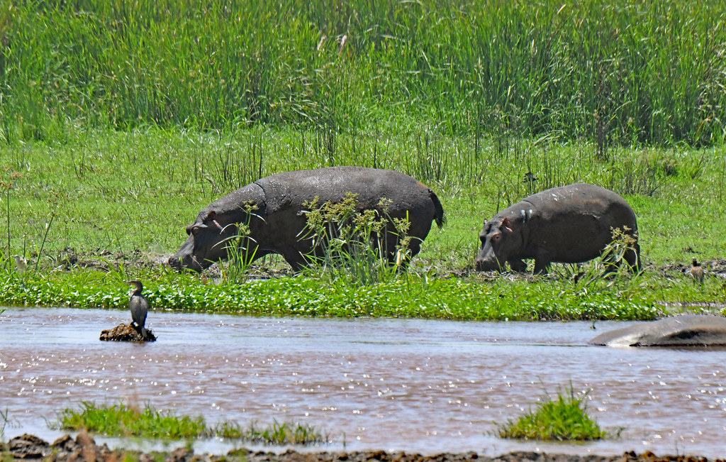Hippopotamuses grazing on land