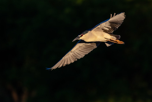 blackcrownednightheron lakesidepark canon ngc tucson 5dmarkiv flight heron fly golden naturetop sky arizona eos ef400mmf56lusm bird animal