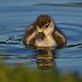 Egyptian Goose Duckling