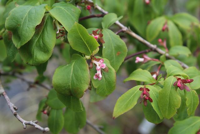 Linnaea (Abelia) umbellata