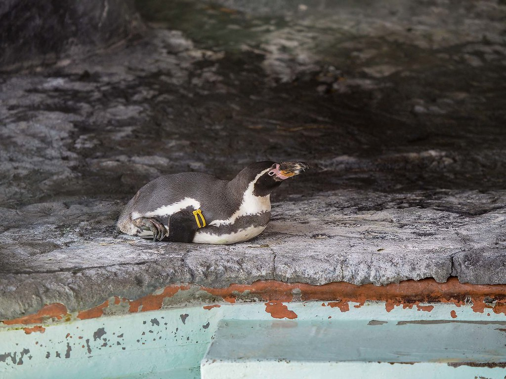フンボルトペンギン/200mm相当