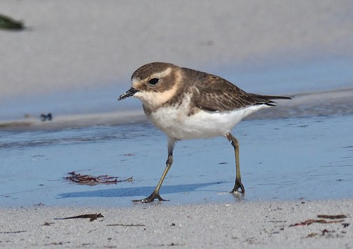 Shorebirds - Plover - Double-banded