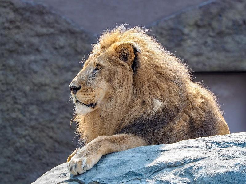 ライオン/310mm相当