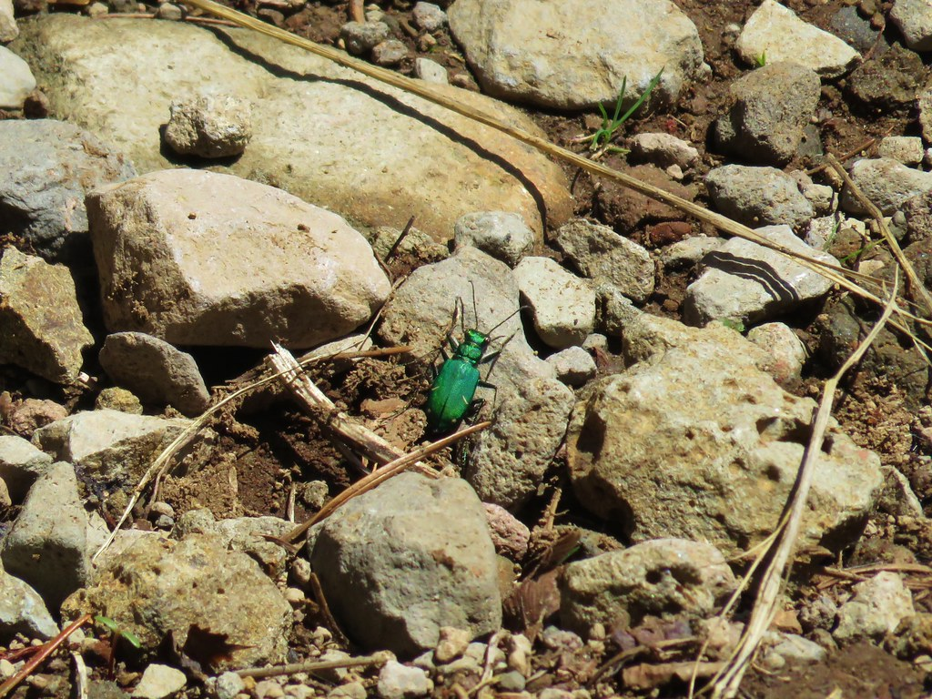 Green beetle on the Carpenter Mountain Trail