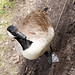 Canadian Goose on a Black Country Canal tow path.