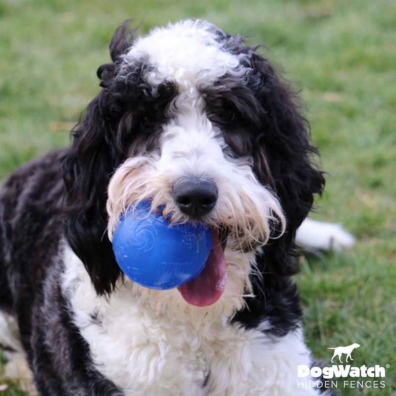 Murphy, Sheepadoodle, DogWatch of Southeast Ohio