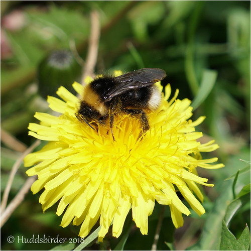 Vestral Cuckoo Bee