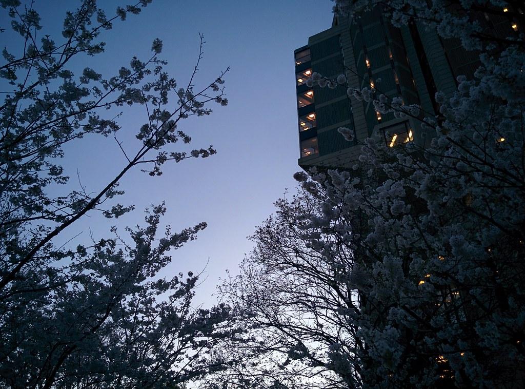 Sakura of Robarts in twilight (8) #toronto #sakura #cherryblossom #universityoftoronto #robartslibrary #harbordstreet #latergram