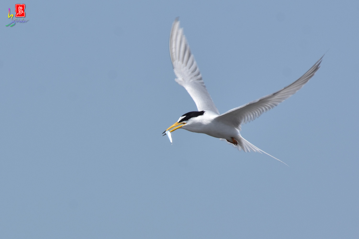 Little_Tern_8850