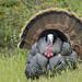 Wild Turkey (Meleagris gallopavo) by Hamilton Images