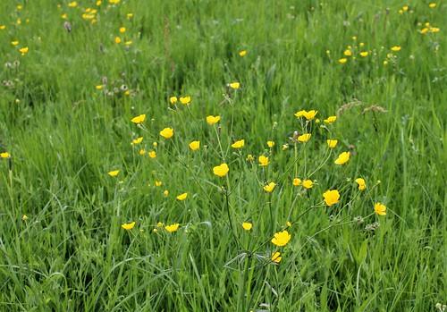 Ranunculus acris - renoncule âcre  41302984485_bc47aa87d3