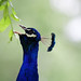 Male Blue Peafowl - Peacock in full voice