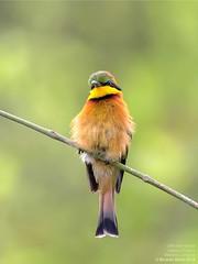 Little Bee-eater (Merops Pusillus) Ramiros, Angola 2018