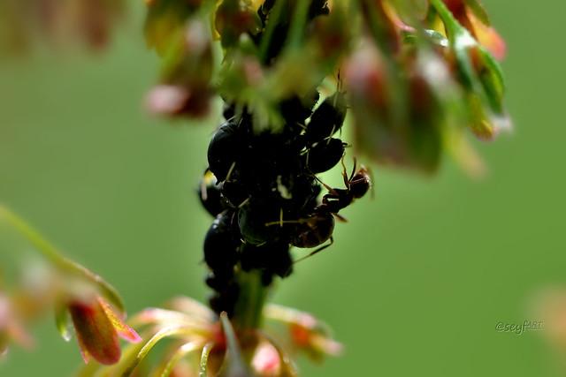 Blattläuse unter Brennnesselblüte