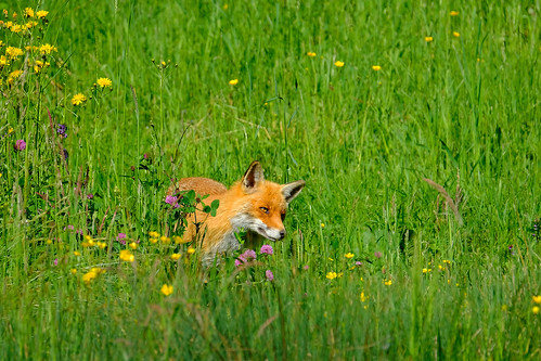 Animal Beauties - The Fox (#3#)