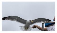 Gaviota comiendo almendras / Seagull eating almonds