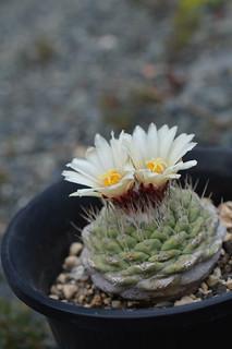 DSC_8094 Strombocactus disciformis ストロンボカクタス 菊水