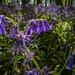 Bluebells at Ashridge-3