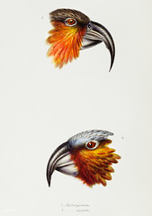 1. Norfolk kaka (Nestor productus) 2. Kaka parrot (Nestor Hypopolius) from A Synopsis of the Birds of Australia and the Adjacent Islands (1837) by John Gould (1804-1881).