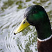 Ducks at Weald Country Park