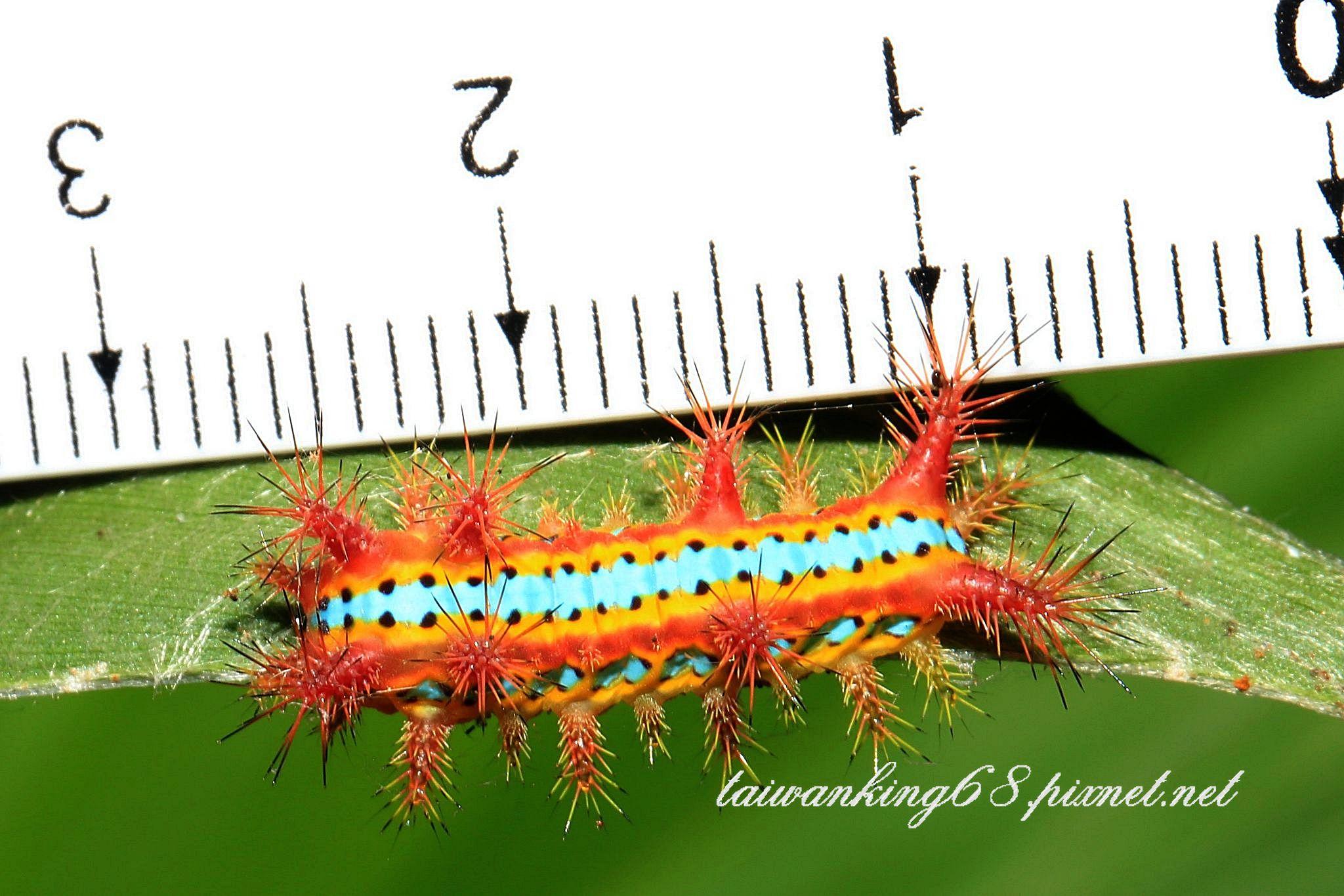 八字褐刺蛾幼蟲