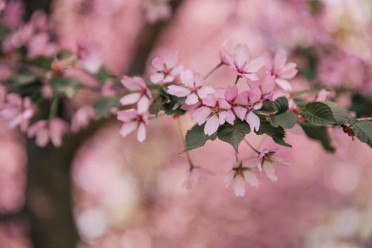 roihuvuori kirsikkapuisto annieveliina-3
