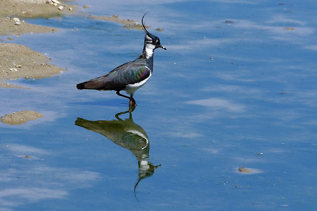 Vanneau huppé - Vanellus vanellus - Northern Lapwing
