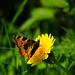 Tortoiseshell butterfly feeding, dandelion