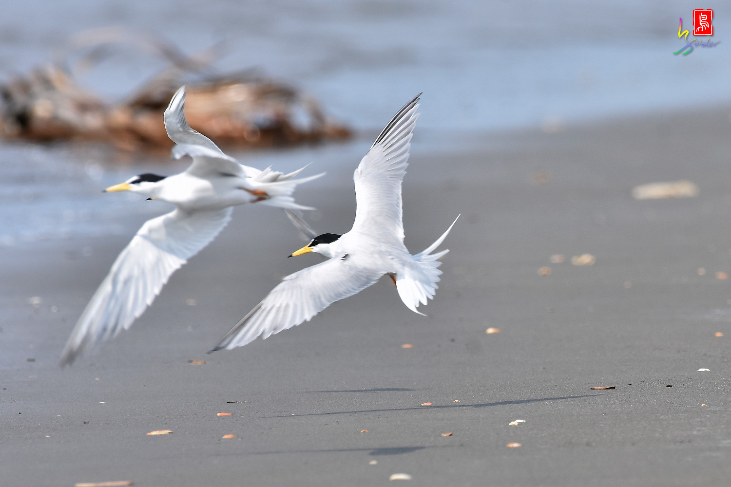 Little_Tern_4192